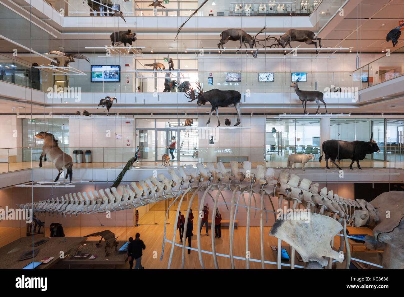 Central hall of the MUSE Science Museum in Trento, Italy, designed in 2013 by Renzo Piano; foreground: a whale skeleton Stock Photo