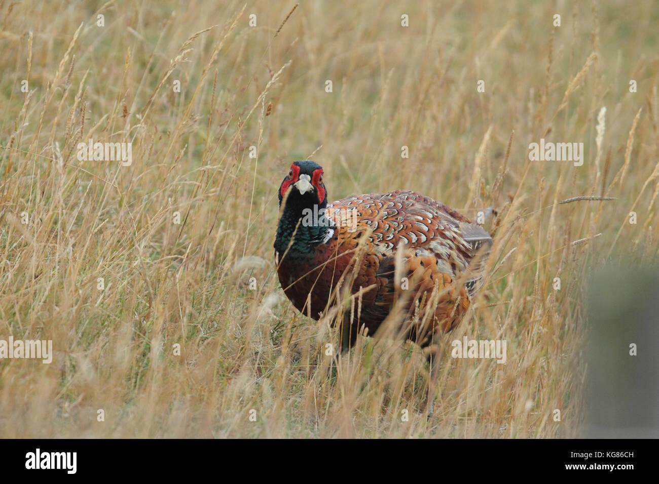 Common pheasant - hunting prey - Stock Image