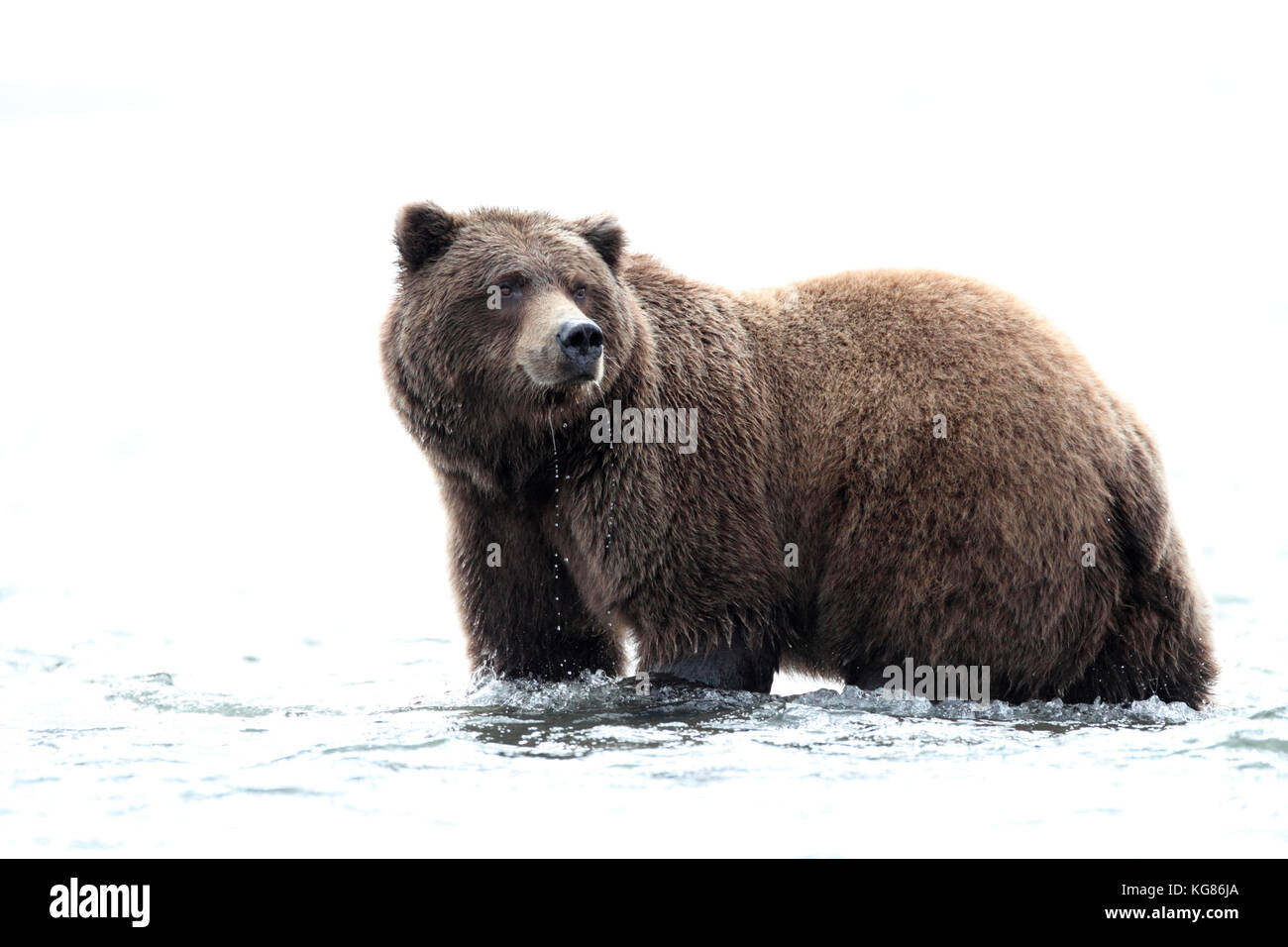 A regal closeup portrait of an Alaska brown bear, or grizzly, standing in the water of coastal Alaska with a white Stock Photo