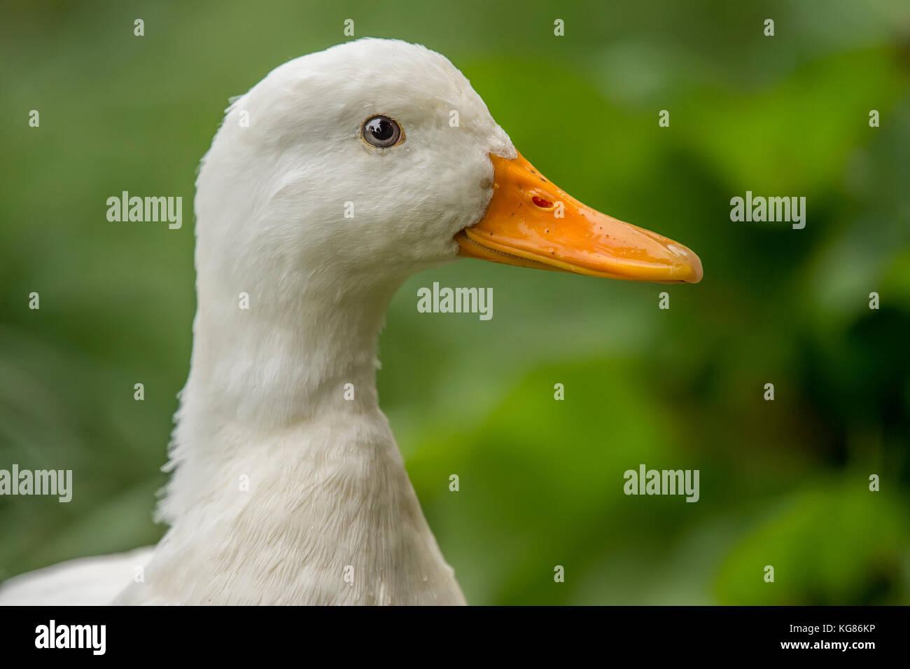 Pekin duck, on a riverbank, close up - Stock Image