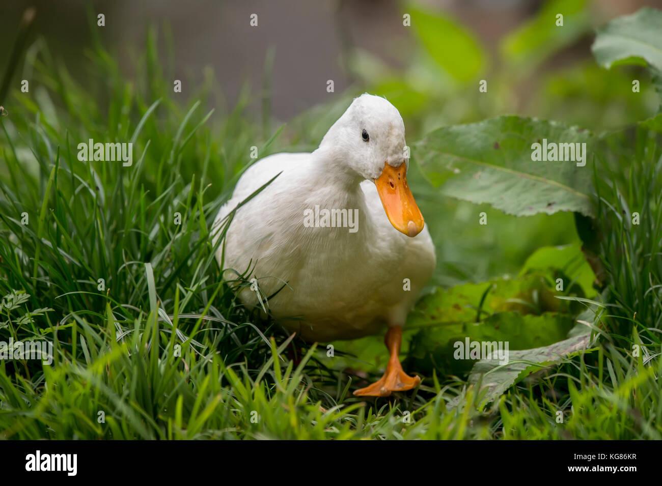 Pekin duck, walking on a riverbank - Stock Image