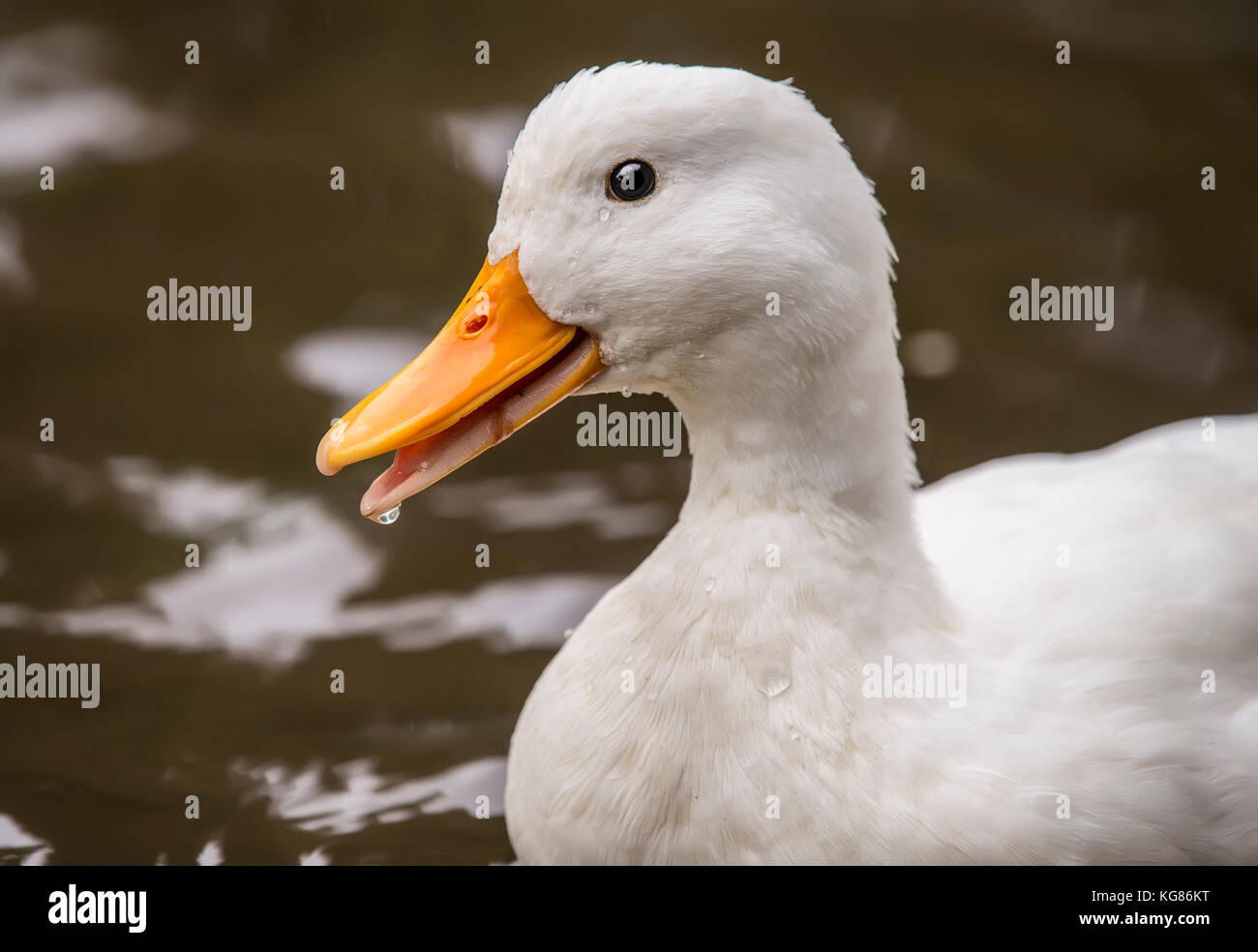 Pekin duck, in a river, close up - Stock Image