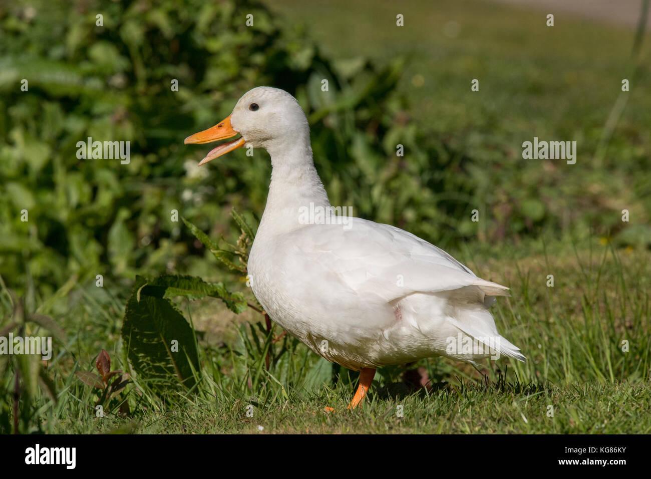 Pekin duck, on the grass, close up, quacking Stock Photo