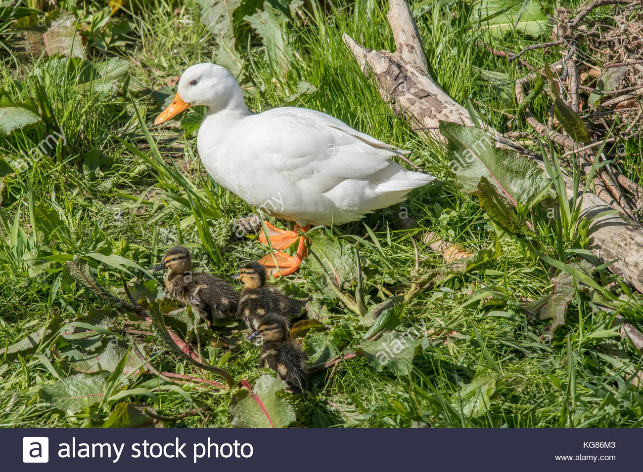 Pekin duck, standing by the river with ducklings - Stock Image
