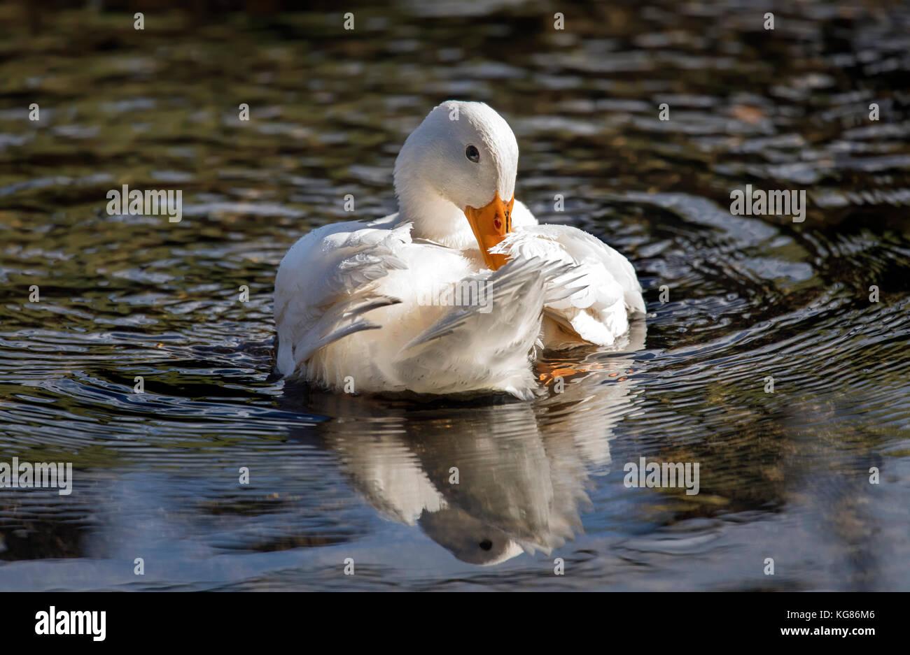 Pekin duck, in the river preening and washing itself - Stock Image
