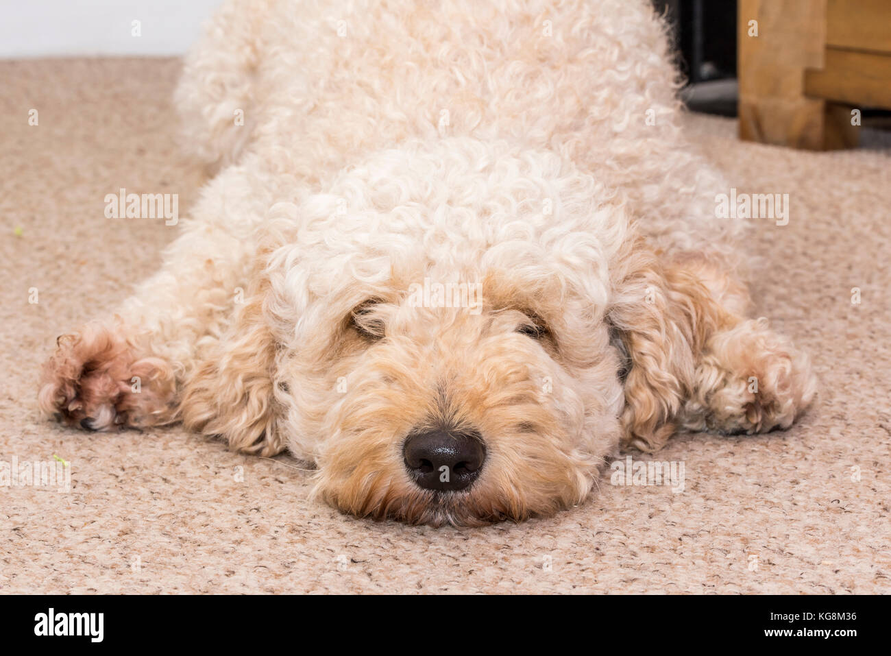 Curly haired Labradoodle lying flat out on the floor and looking towards the camera - Stock Image