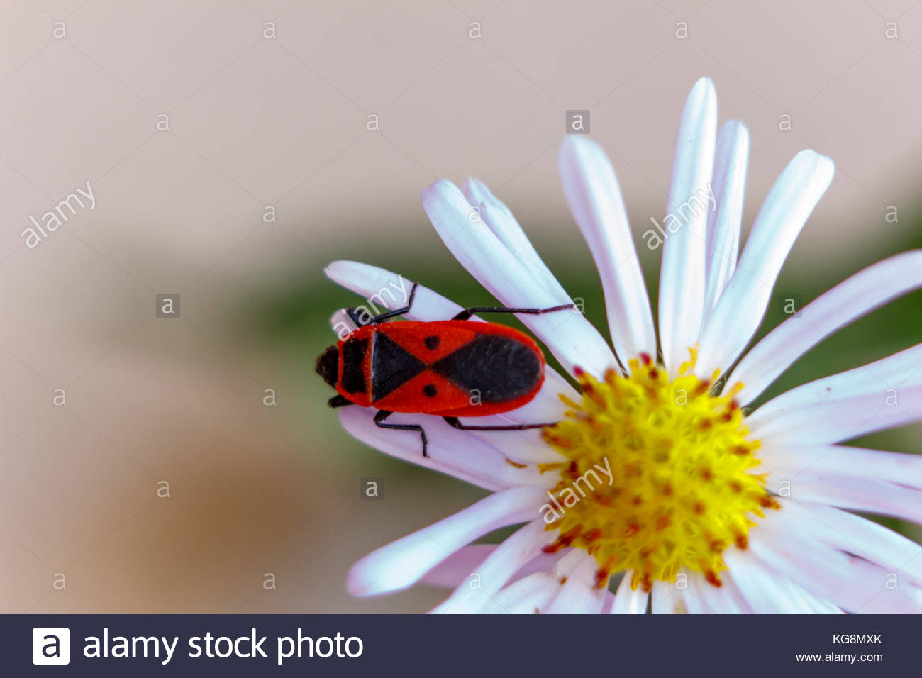 This red-winged wingless or beetle soldier on the astra. Blur. Autumn. - Stock Image