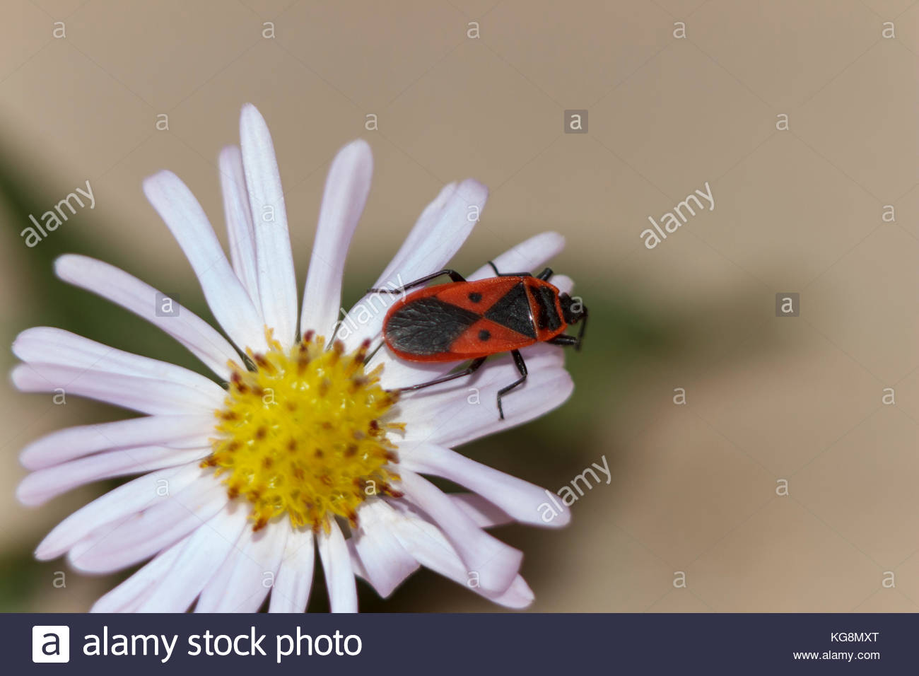 This red-winged wingless or beetle soldier. Blur. Autumn. Stock Photo