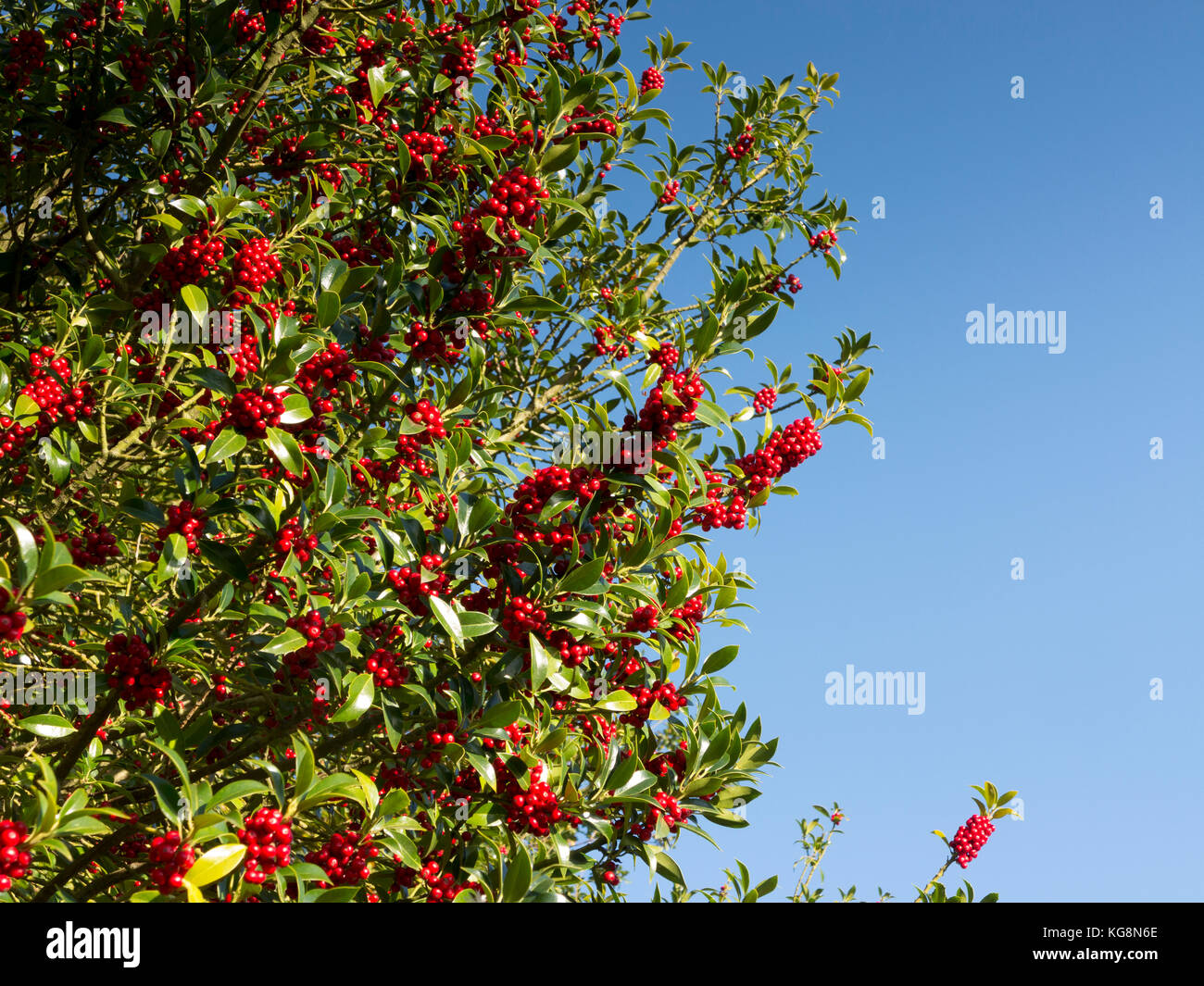 Section of holly tree, Ilex rotunda, with berries against a pure blue sky. Suffolk ,England - Stock Image