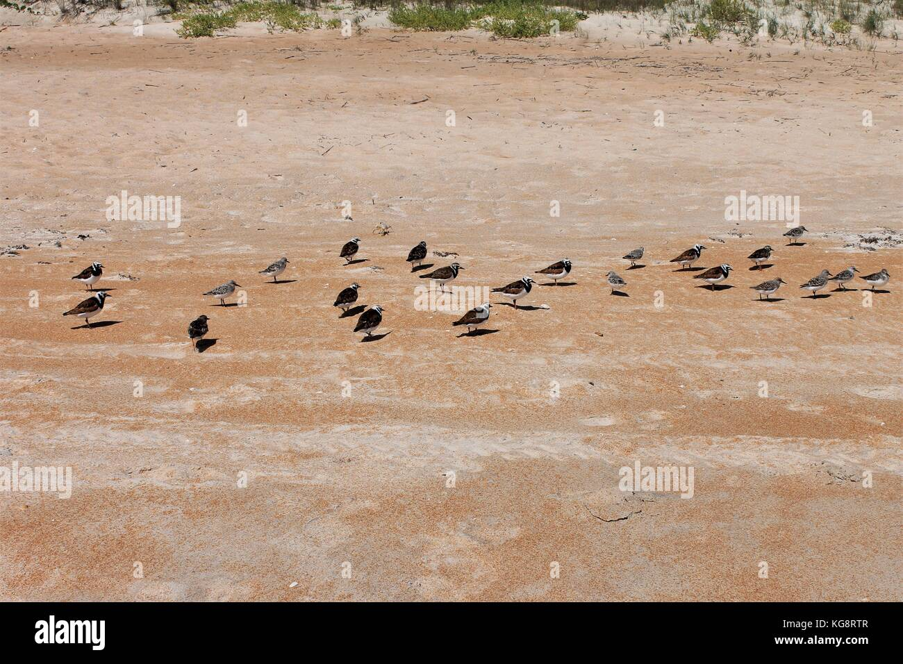 Sandpipers on the beach, Ormond Beach, Florida, USA - Stock Image