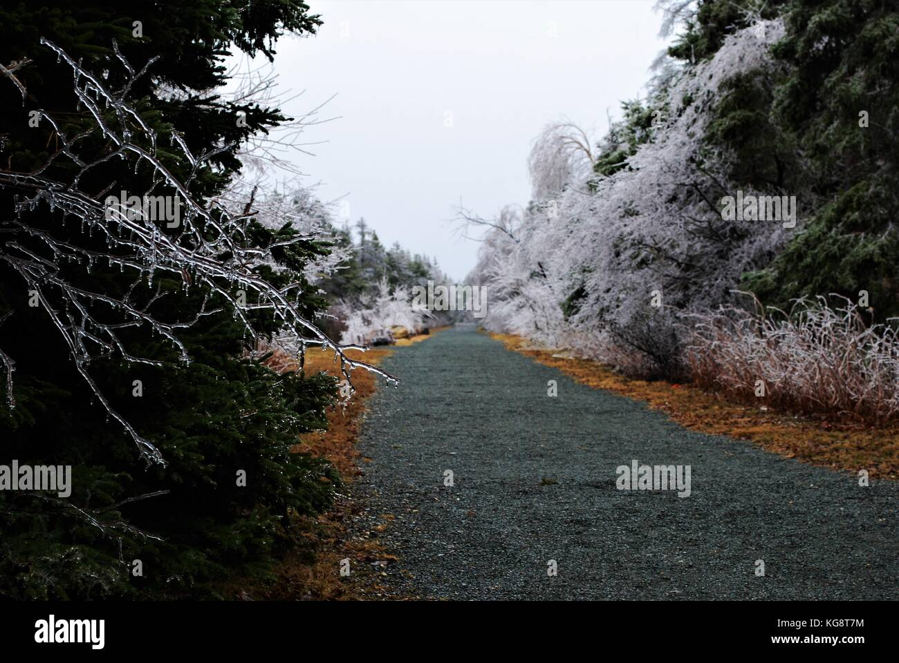 Ice covered trees line the sides of a walking trail, Conception Bay South, Newfoundland Labrador, Canada. - Stock Image