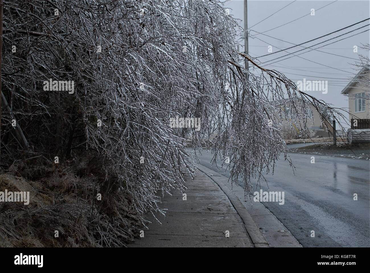 Thick ice on trees, during ice storm in Conception Bay South, Newfoundland Labrador, cause the branches to bend - Stock Image