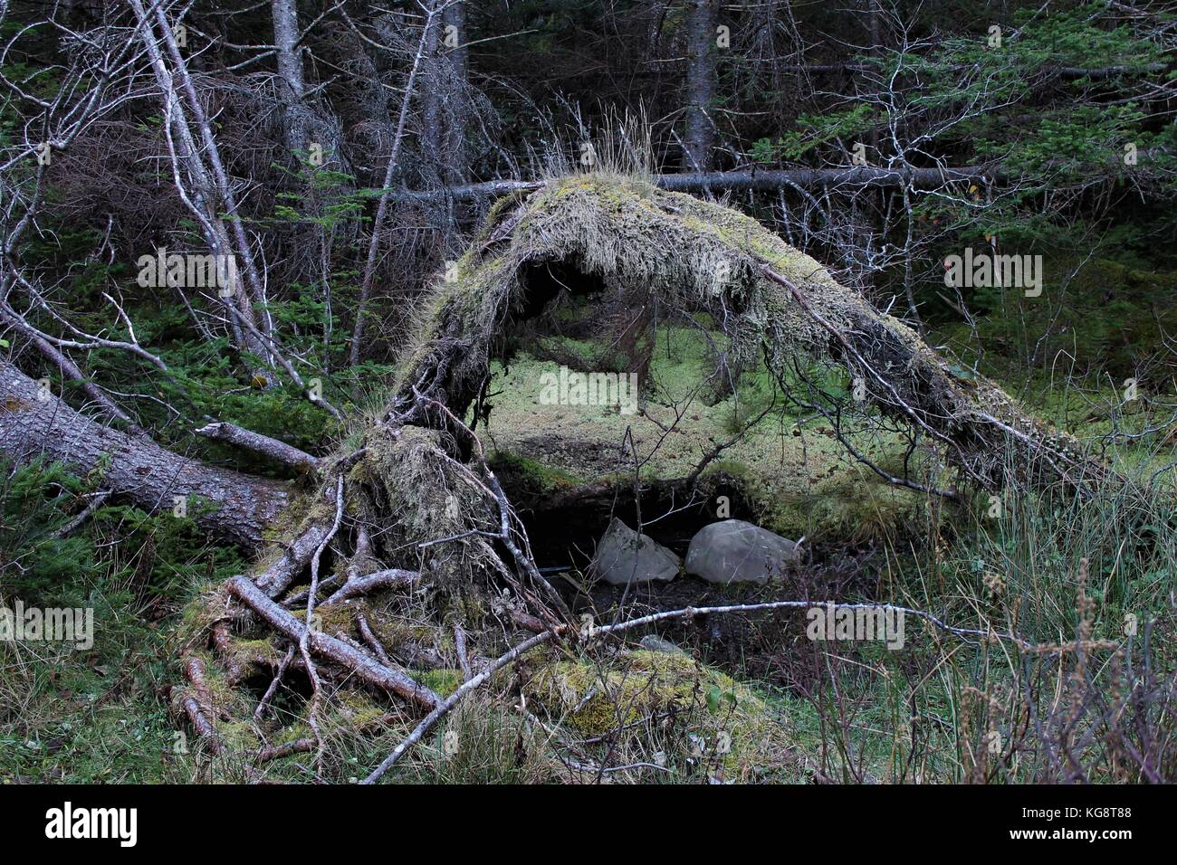 Exposed tree roots from fallen tree in the forest create a canopy over two rocks. - Stock Image