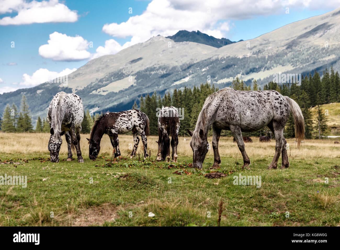 Pferde auf der Alm, Horse on the pasture - Stock Image