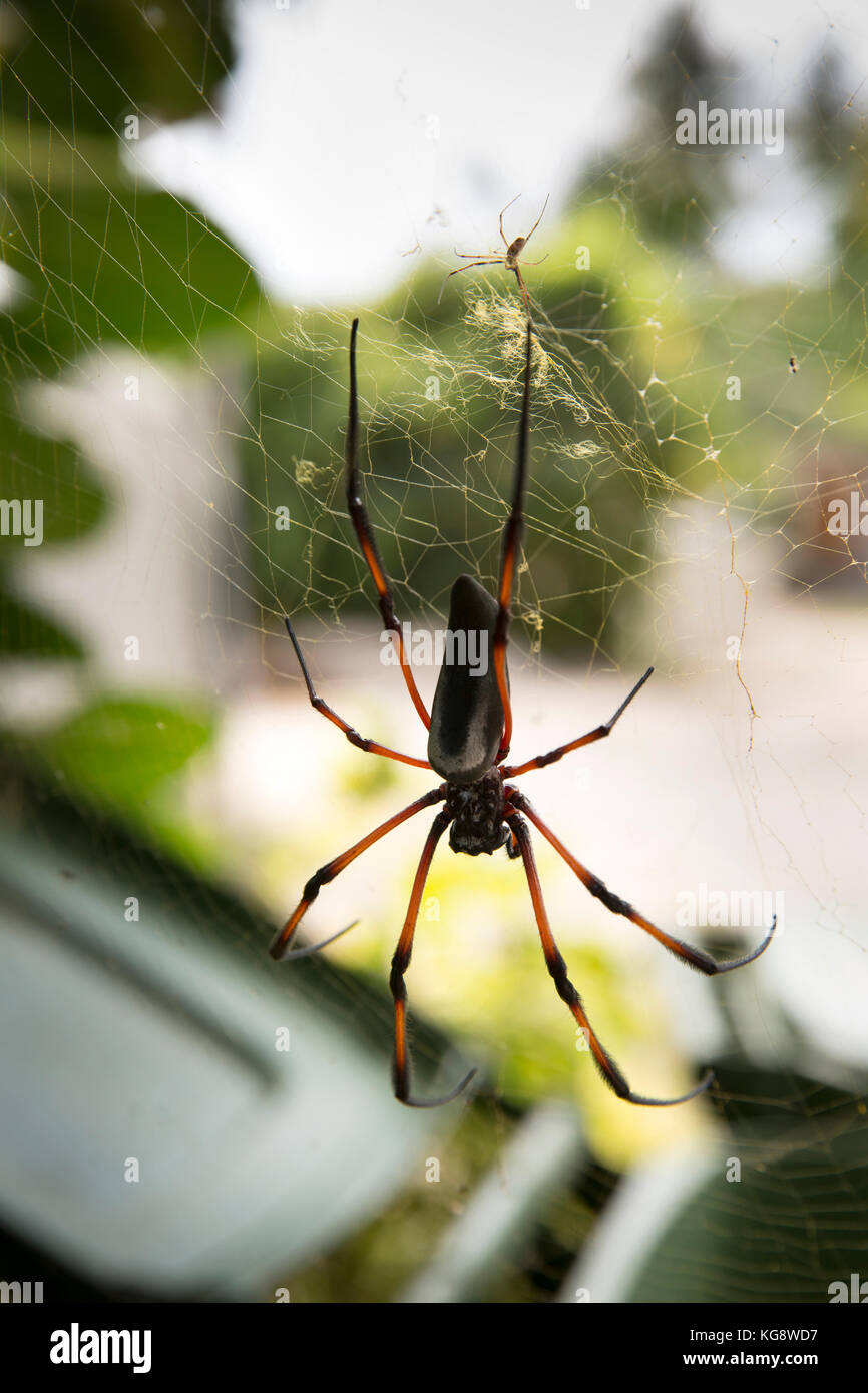 The Seychelles, La Digue, wildlife, female Palm Spider, Nephila inaurata , red-legged golden orb spider in centre - Stock Image