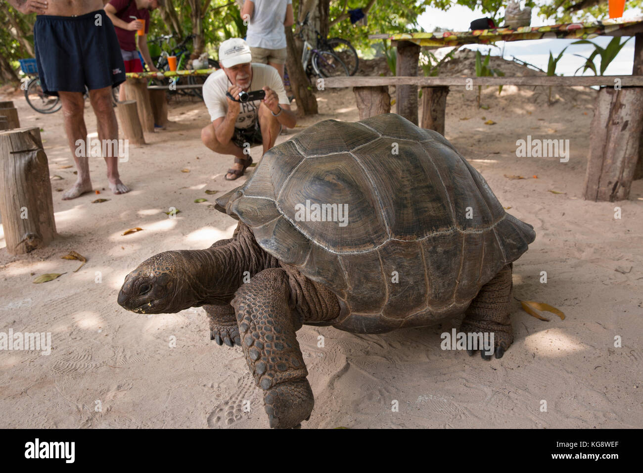 The Seychelles, La Digue, Anse Severe, wild Aldabra Giant Tortoise bring filmed by tourist - Stock Image