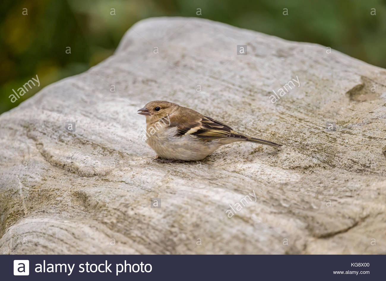 Chaffinch female perched on a stone tweeting Stock Photo