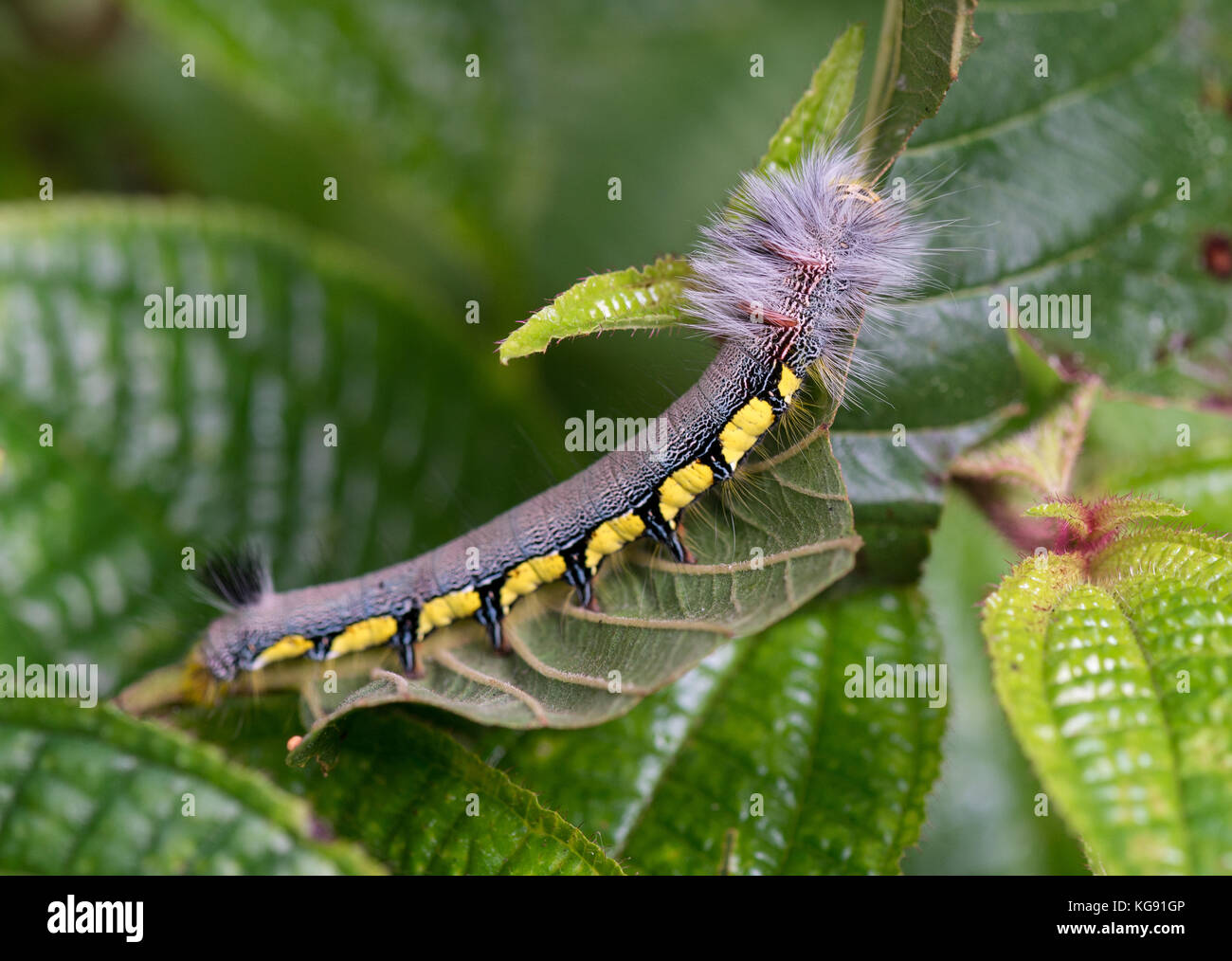 Colorful hairy caterpillar on green leaves. Madagascar, Africa. - Stock Image