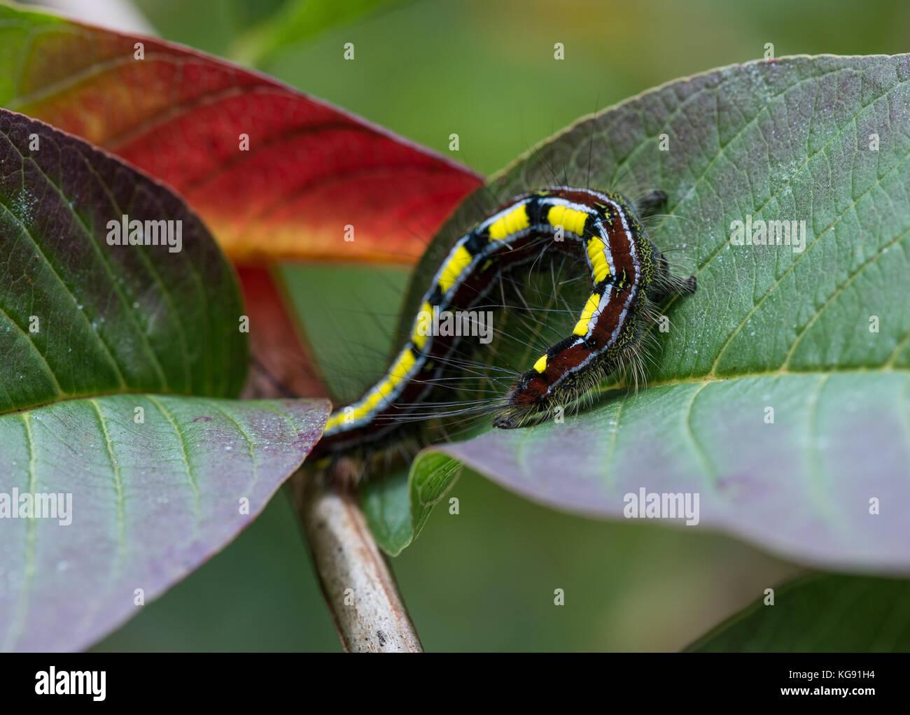 Colorful hairy caterpillar (Borocera cajani) on green leaves. Andasibe -Mantadia National Park. Madagascar, Africa. - Stock Image
