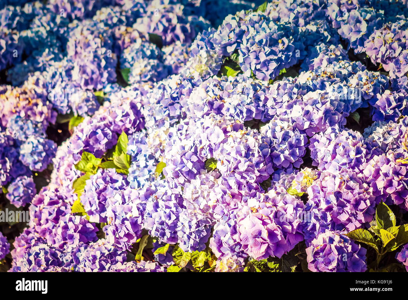 Hydrangea flowers-  plants native to southern and eastern Asia and the Americas. - Stock Image