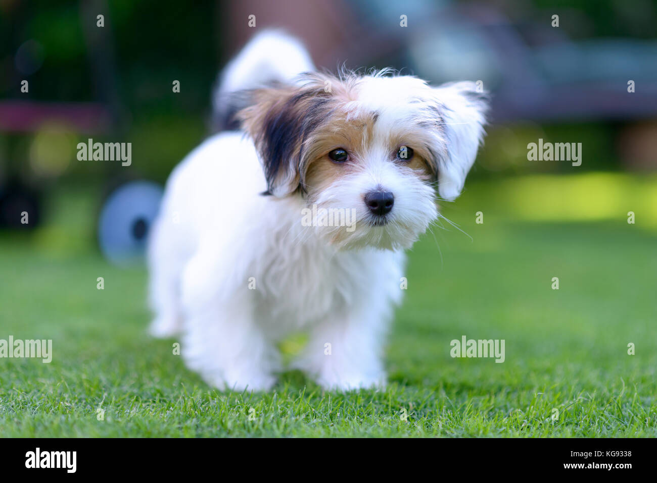 maltese havanese maltese havanese mix stock photos maltese havanese mix 1209