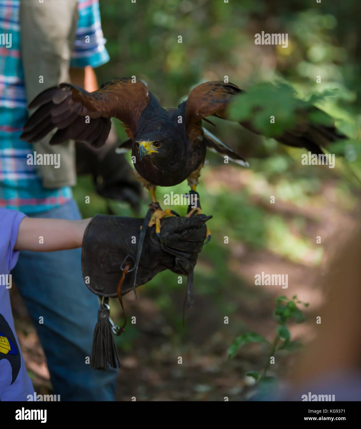 Parabuteo unicinctus - Harris's hawk - Buzzard of Harris in the wood, on a child's hand - Stock Image