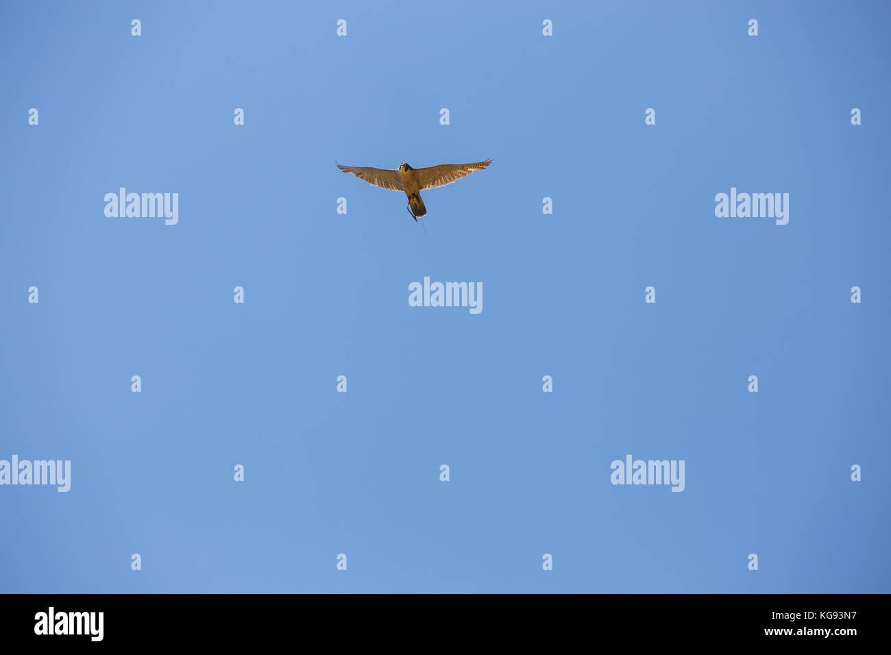 Hawk in flight,Peregrine falcon, Hawk peregrinus in the blue sky. - Stock Image