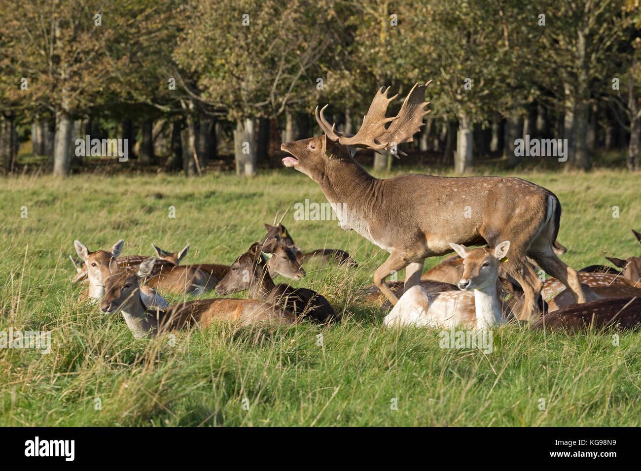 fallow deer (Dama dama) at Phoenix Park, Dublin, Ireland Stock Photo