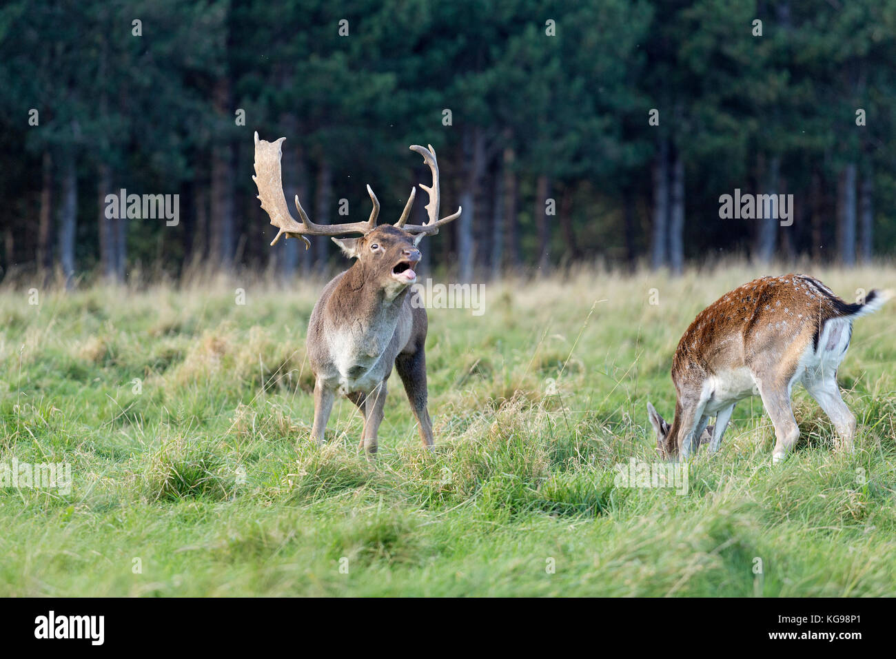 fallow deer (Dama dama) at Phoenix Park, Dublin, Ireland Stock Photo