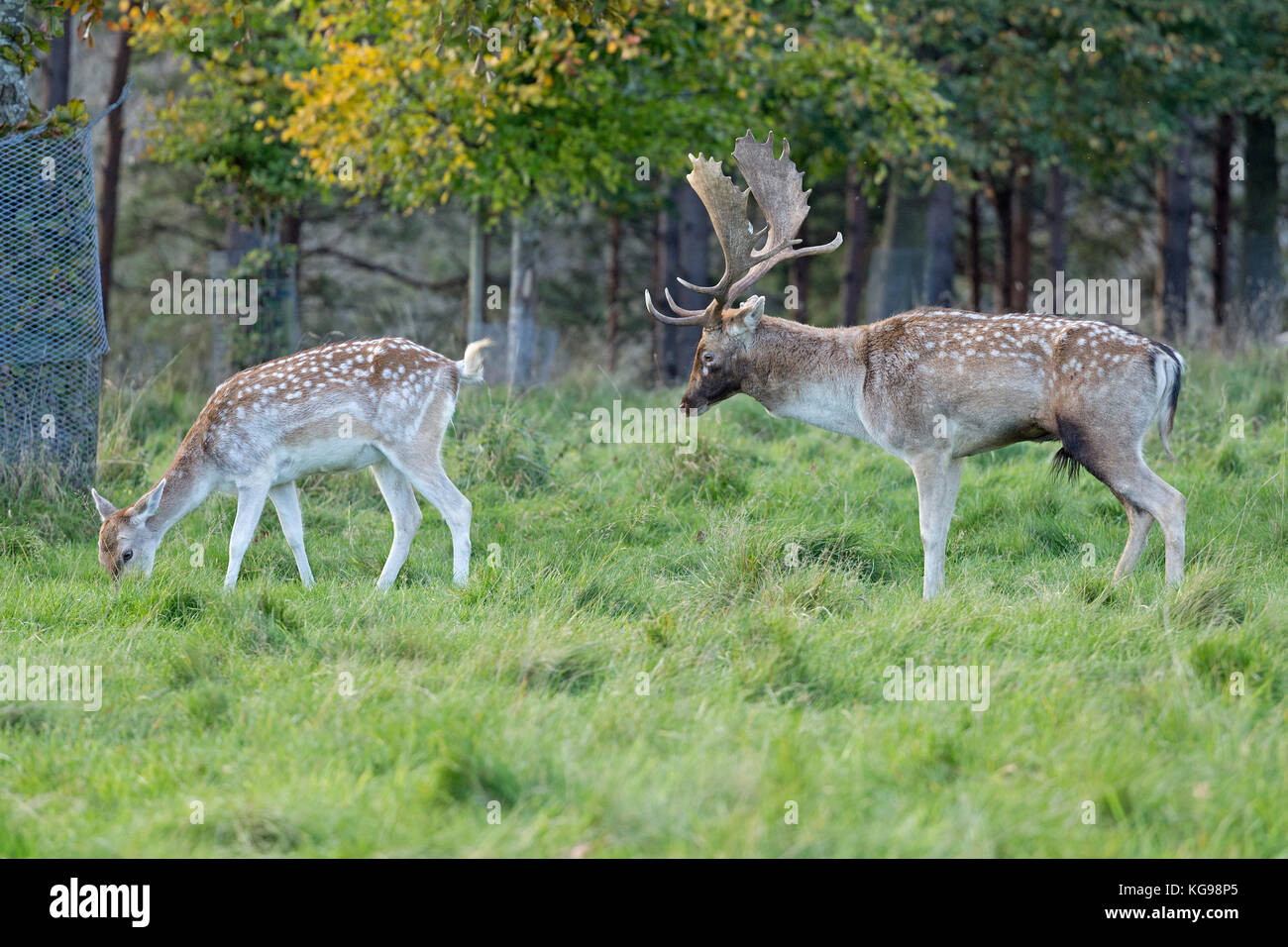 fallow deer (Dama dama) at Phoenix Park, Dublin, Ireland - Stock Image