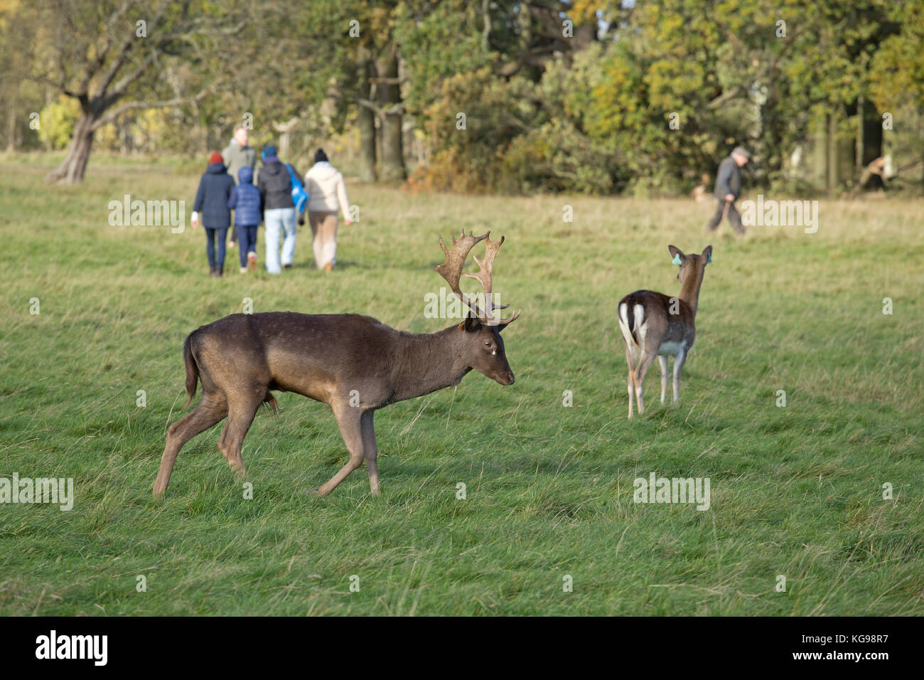 fallow deer (Dama dama) and people at Phoenix Park, Dublin, Ireland - Stock Image