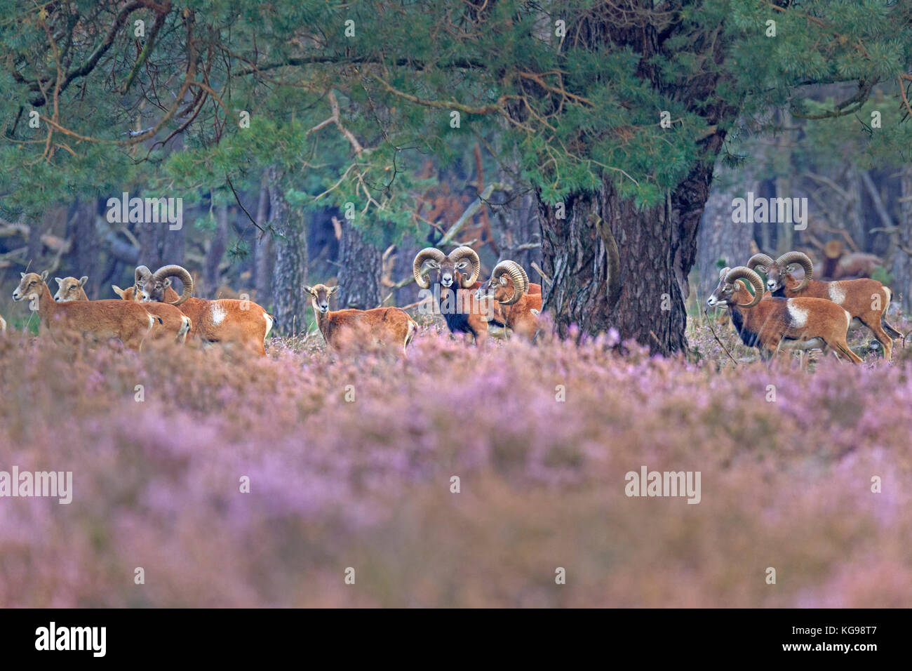 European Mouflon (Ovis orientalis musimon) Nationalpark Hoge Veluwe, Gelderland, Netherland, Europe - Stock Image