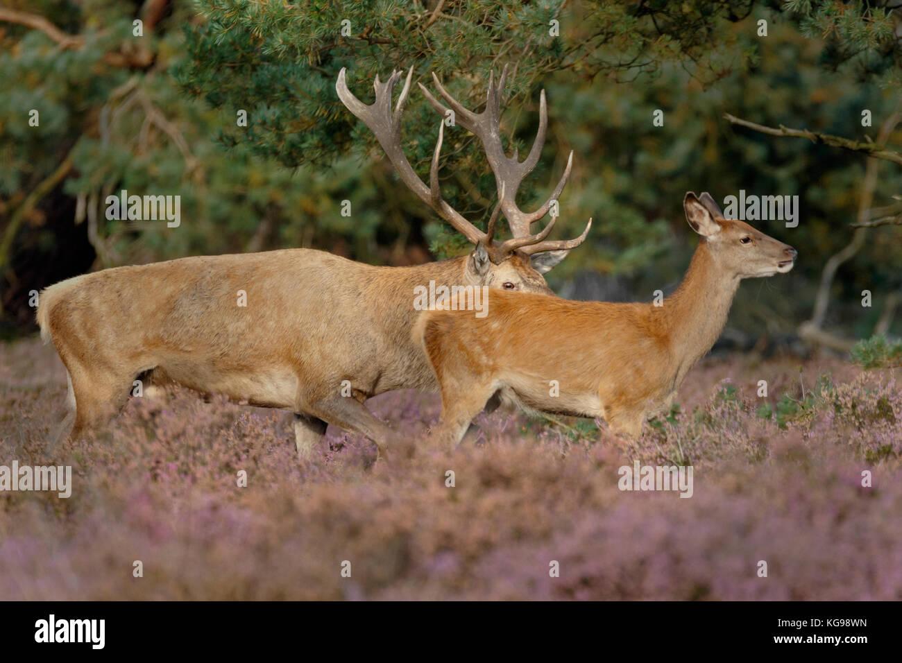 Red Deer (Cervus elaphus) Hoge Veluwe National Park, Netherland, Europe Stock Photo
