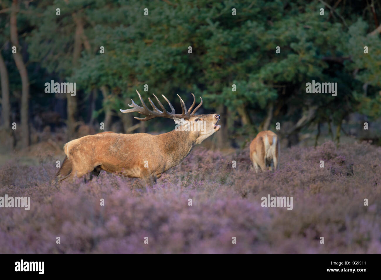 Red Deer (Cervus elaphus) Hoge Veluwe National Park, Netherland, Europe Stock Photo