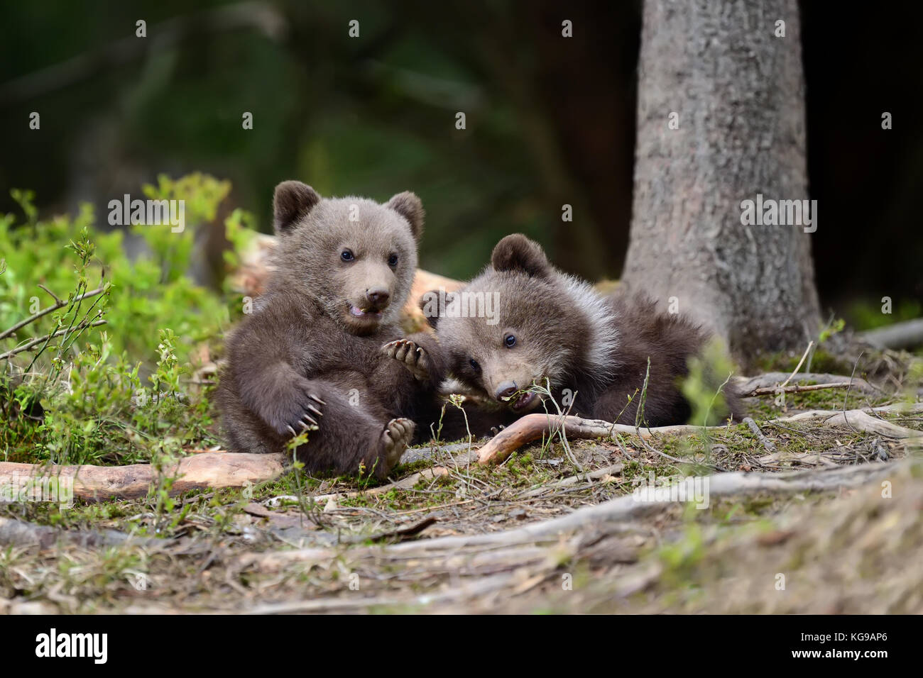 Young brown bear in the forest. Portrait of brown bear. Animal in the nature habitat. Cub of brown bear without - Stock Image