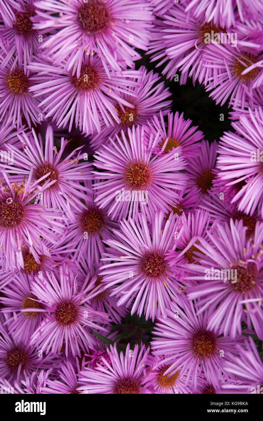 Colourful, bright pink asters/ asteraceae - Stock Image