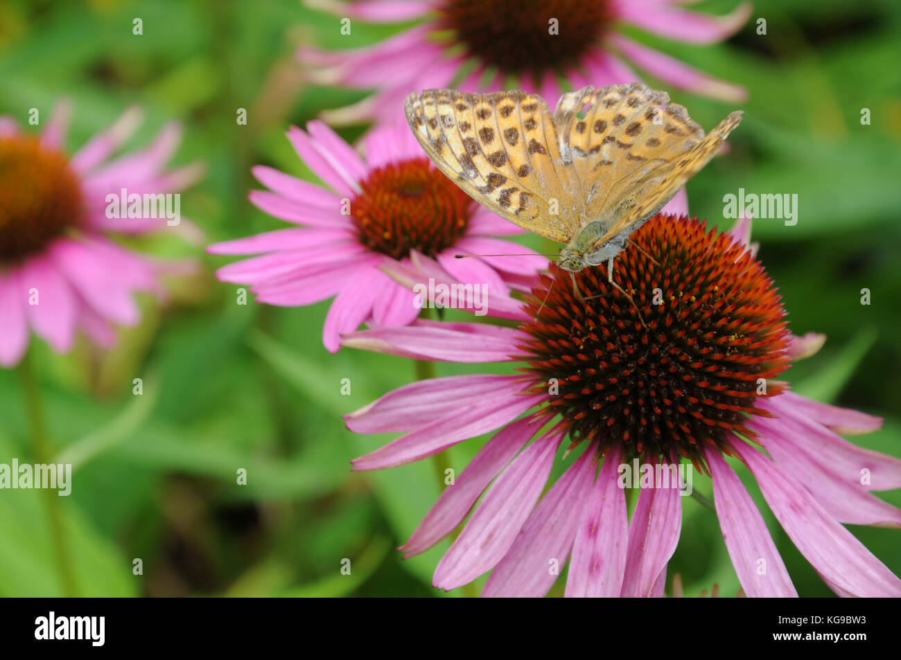 silver-washed fritillary on purple cone flower - Stock Image