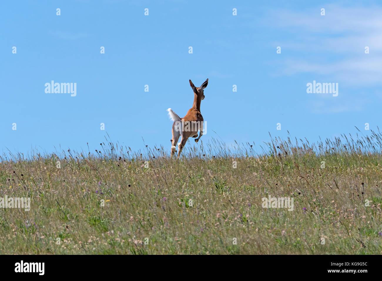 Deer Leaping across the Prairie in Theodore Roosevelt National Park in North Dakota - Stock Image
