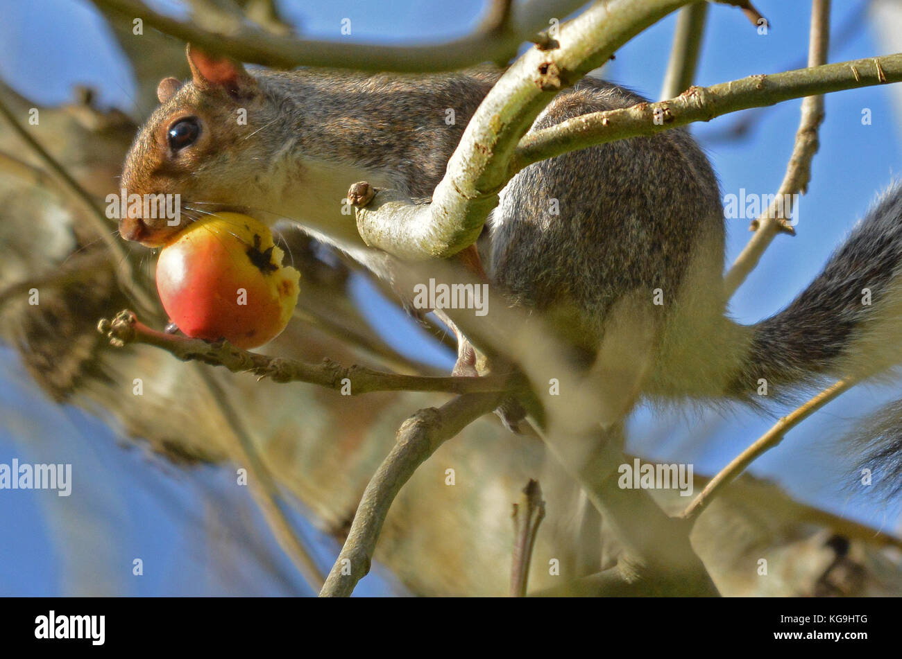 Bristol, UK. 5th November, 2017.UK Weather. On a mild and sunny afternoon in Bristol a squirrel in seen holding - Stock Image