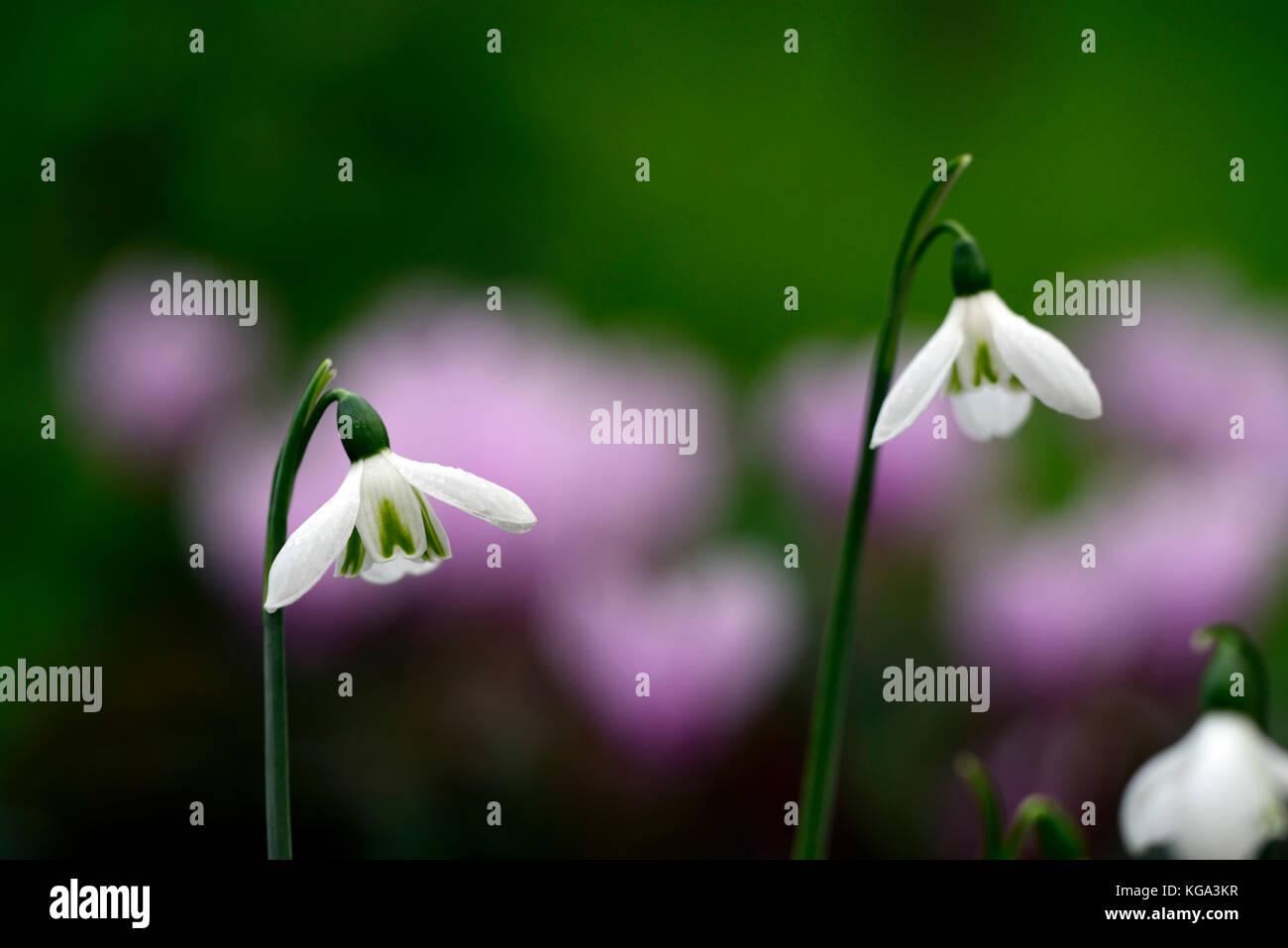 Galanthus peshmenii,species, autumn, autumnal, fall, flower, flowers, flowering, snowdrop, snowdrops, RM Floral - Stock Image