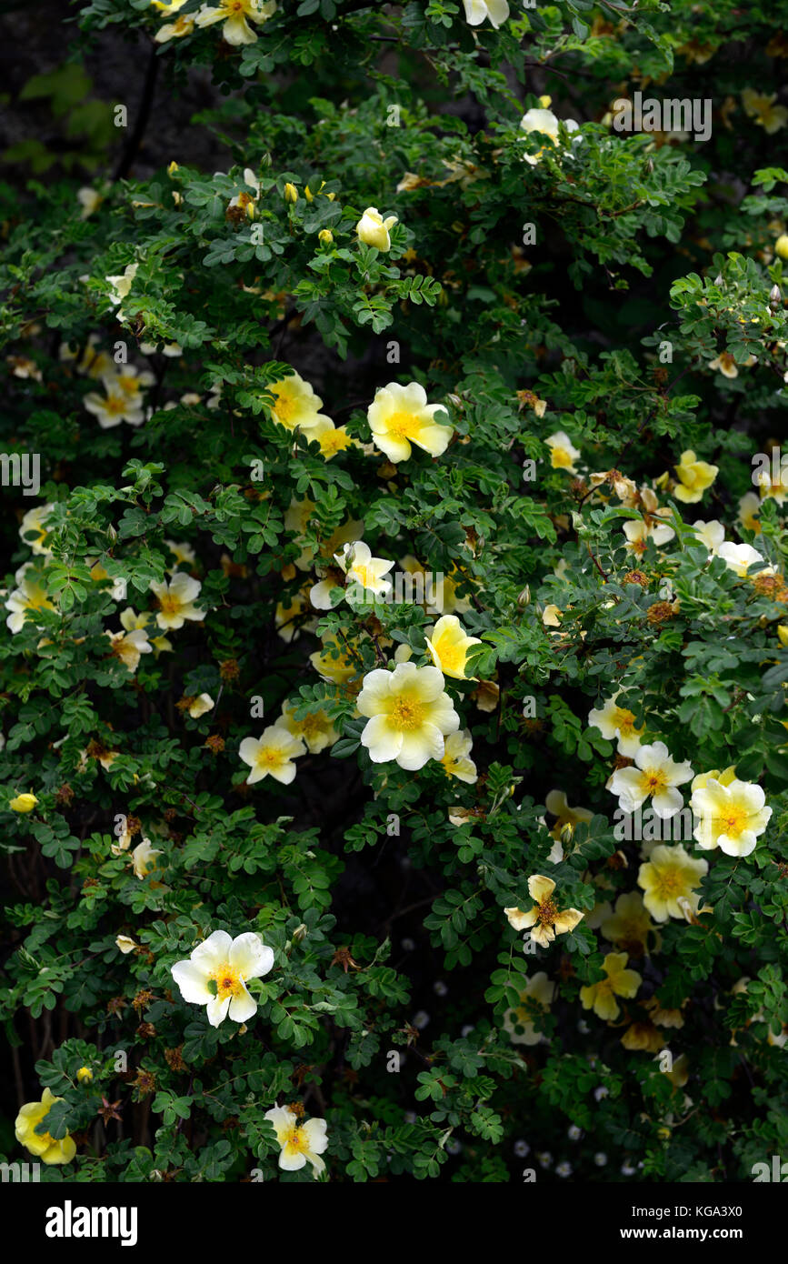 Rosa xanthina Canary Bird, yellow ,flower,shrub rose, flowers, clusters,fern-like foliage, arching thorny stems, - Stock Image
