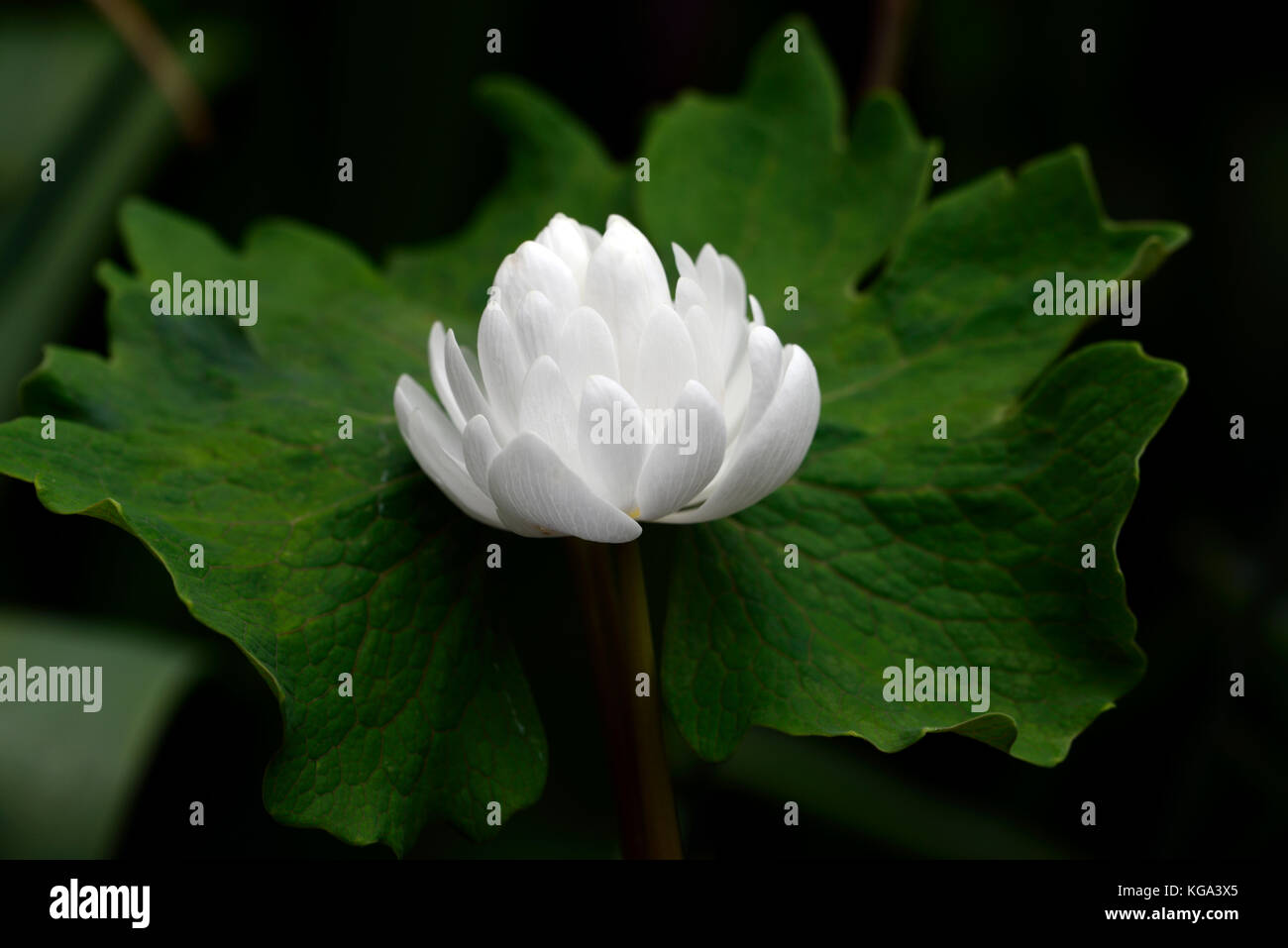 sanguinaria canadensis multiplex, bloodroot, white, flowers, flower, double, flowering, bloom, blossoms, plant portraits, - Stock Image