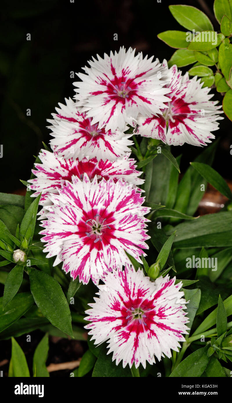 Dianthus barbatus, cluster of stunning white flowers with streaks of vivid red with frilly edged petals & green - Stock Image