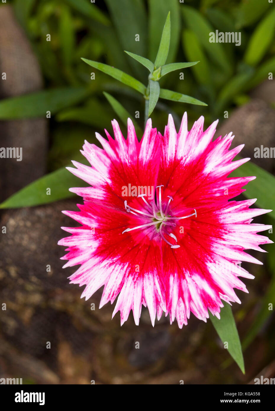 Single vivid red and white flower with frilly edged petals of Dianthus barbatus on background of green leaves - Stock Image