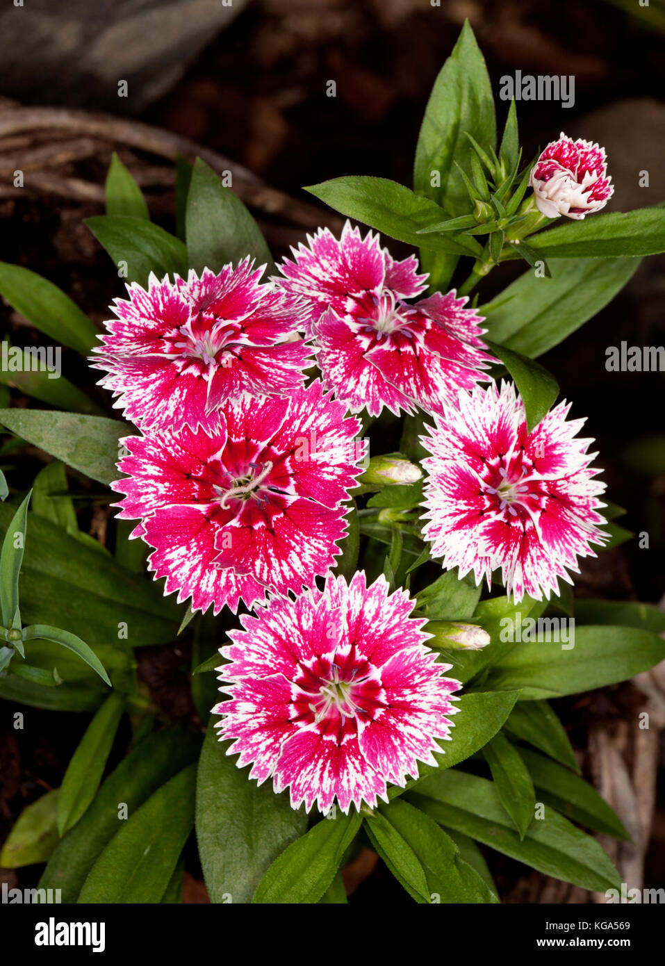 Cluster of vivid red and white flowers with frilly edged petals of Dianthus barbatus on background of green leaves - Stock Image