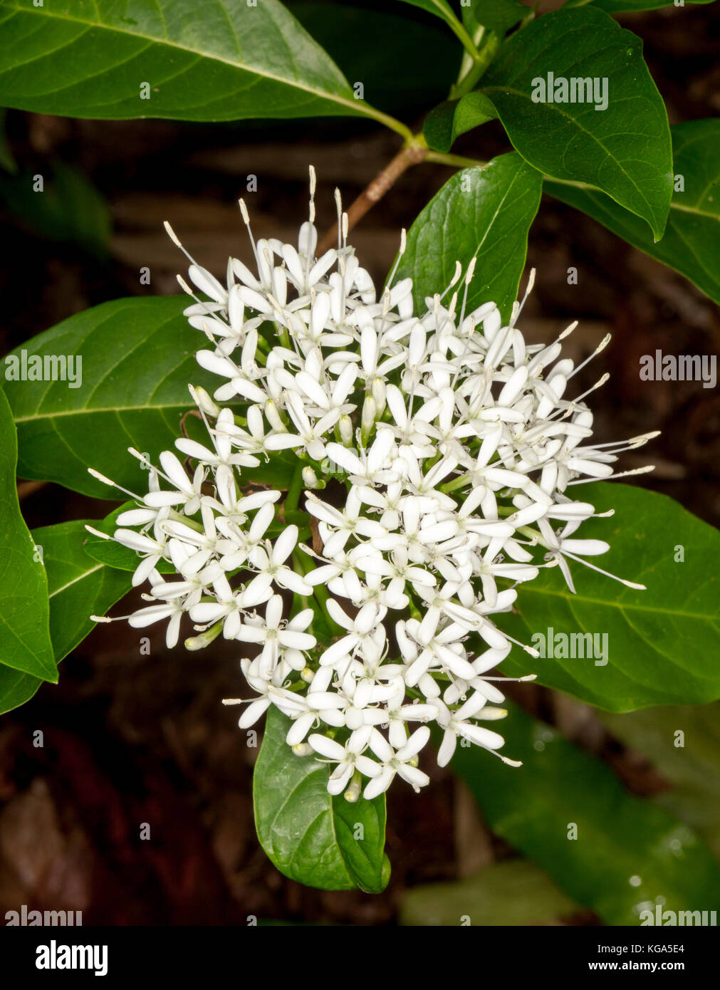 White perfumed flowers of Pavetta australiensis, Australian native shrub  attracts butterflies. - Stock Image
