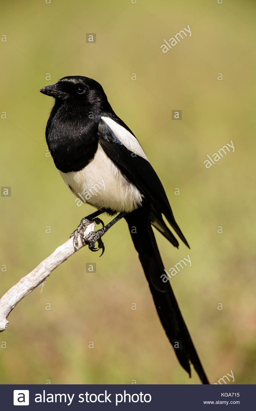 Black-billed magpie perched in meadow within Moraine Park, Rocky Mountain National Park, Colorado - Stock Image