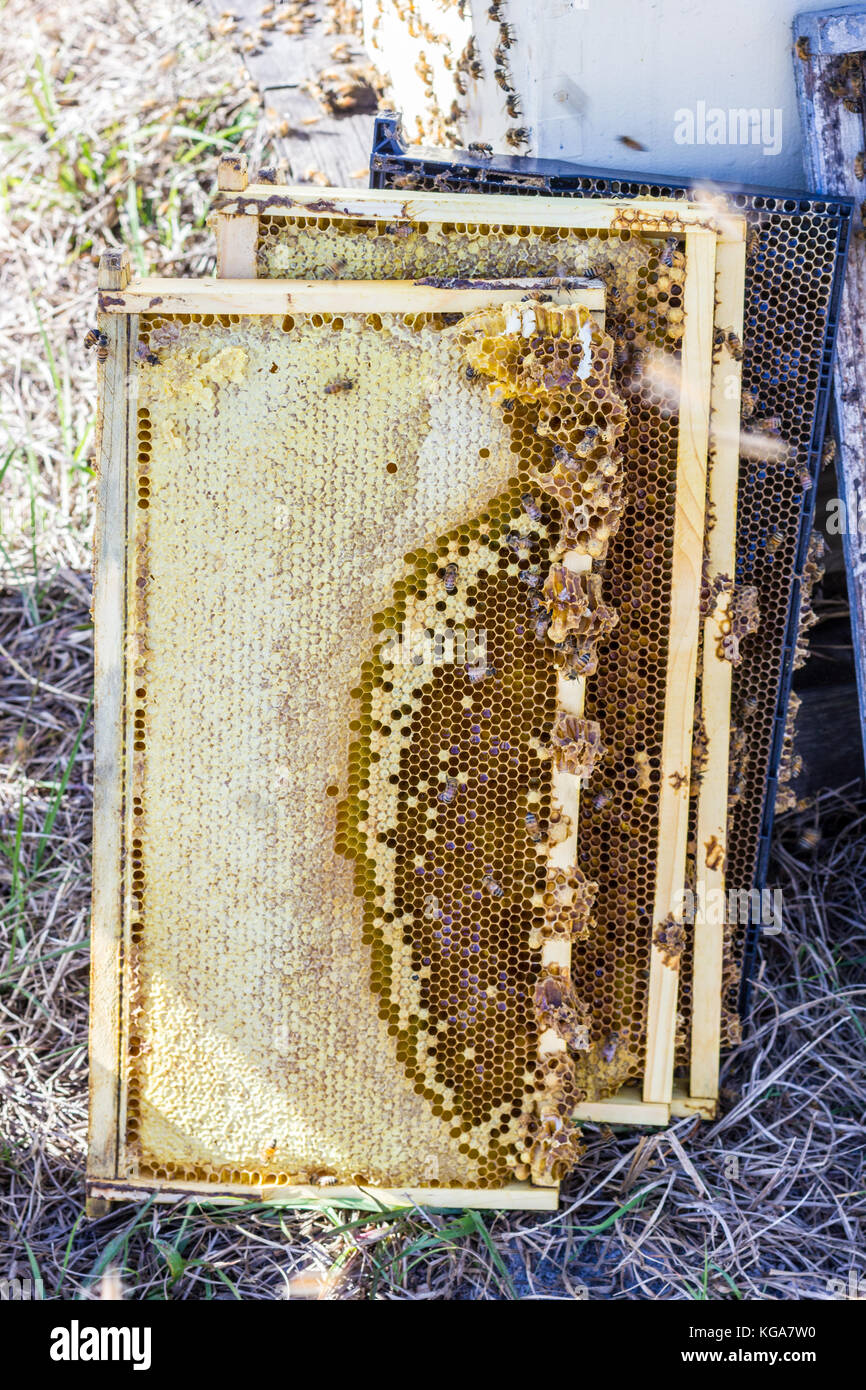 Collected beehive frames with caps, honey, bees - Stock Image