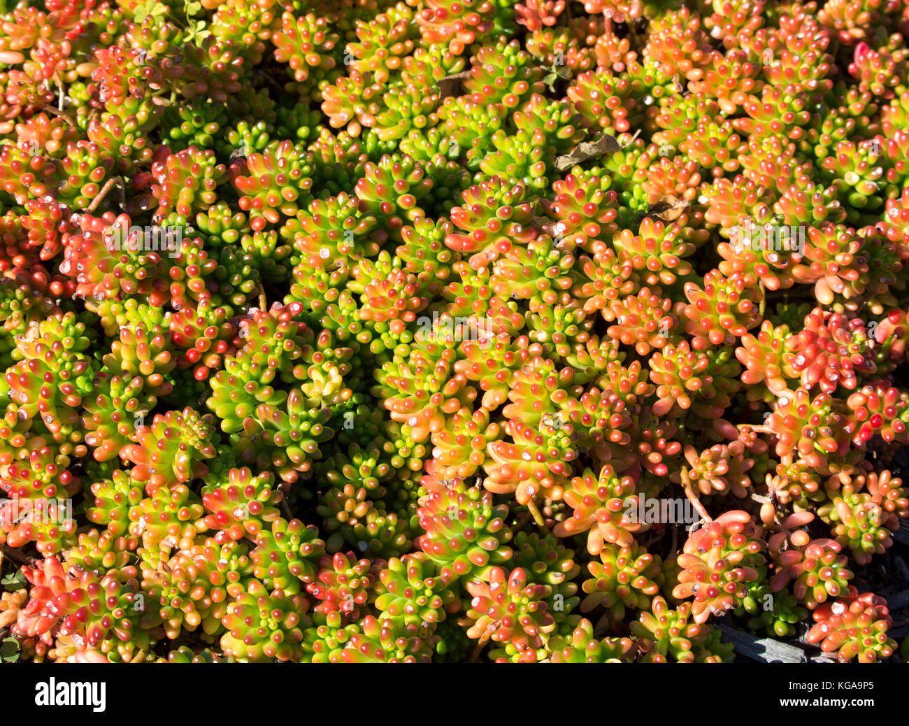 Ground cover succulents stock photos ground cover succulents stock succulents with thick skin protective coating seals in moisture and minimizes evaporation create delightful textured mightylinksfo