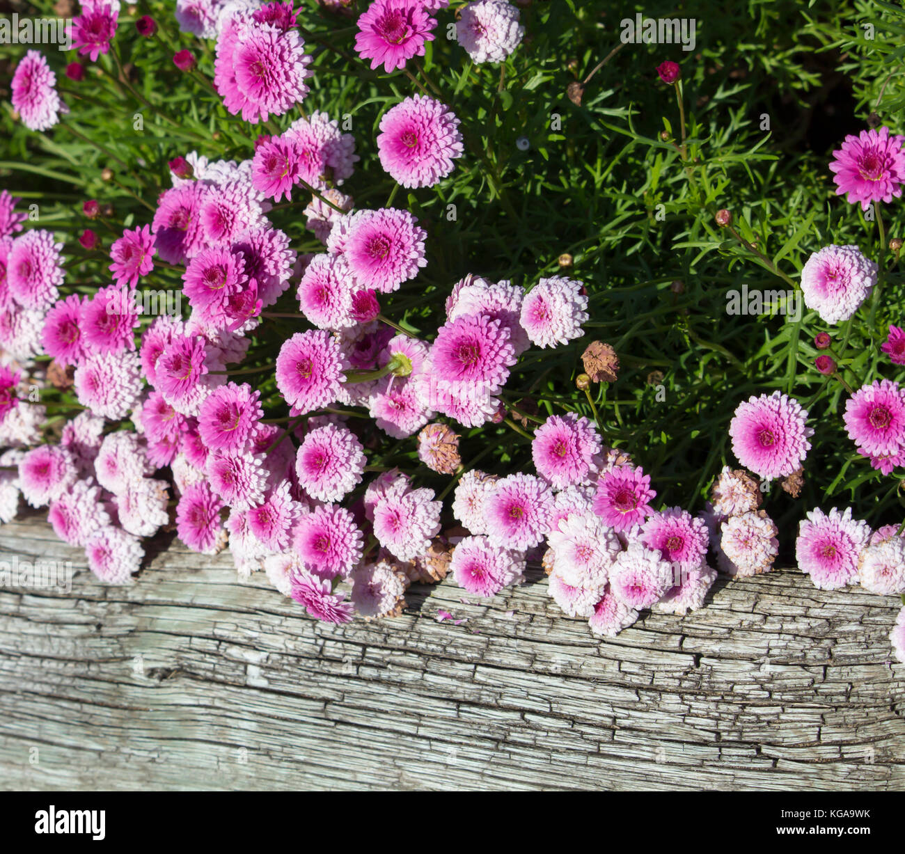 Double Daisies Stock Photos Double Daisies Stock Images Alamy